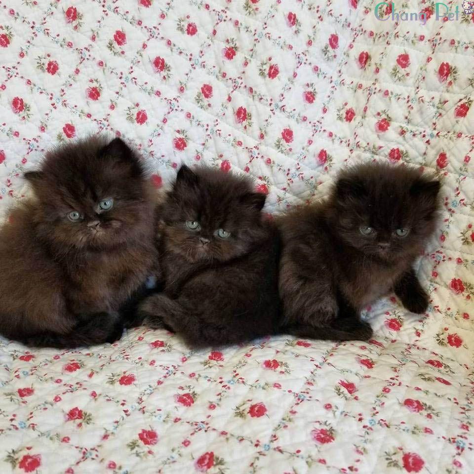 Persian 8 Kittens Kittens Playing Cat Breeds