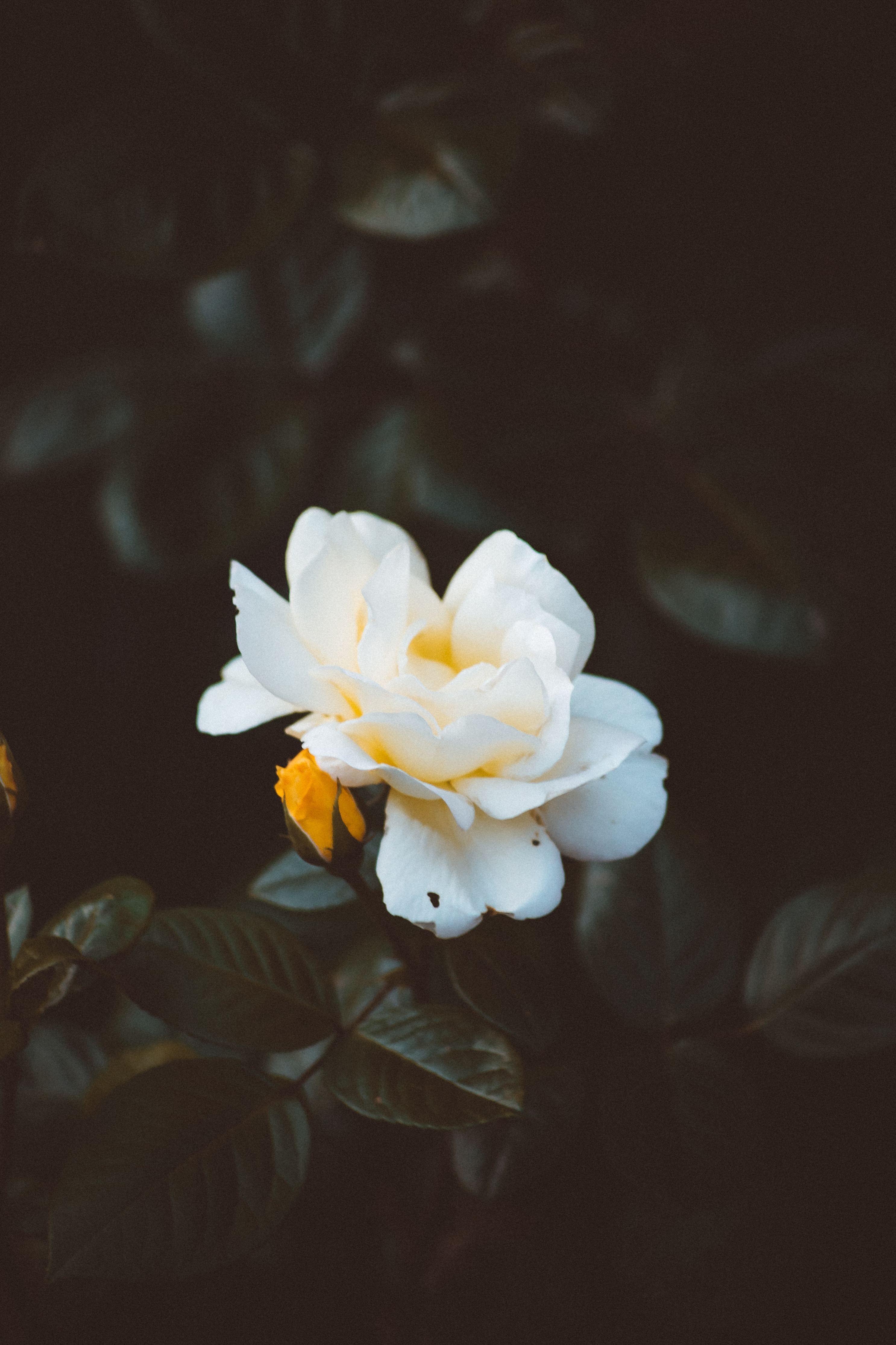 White Flower White Flower Wallpaper Beautiful Rose Flowers Images Beautiful Rose Flowers