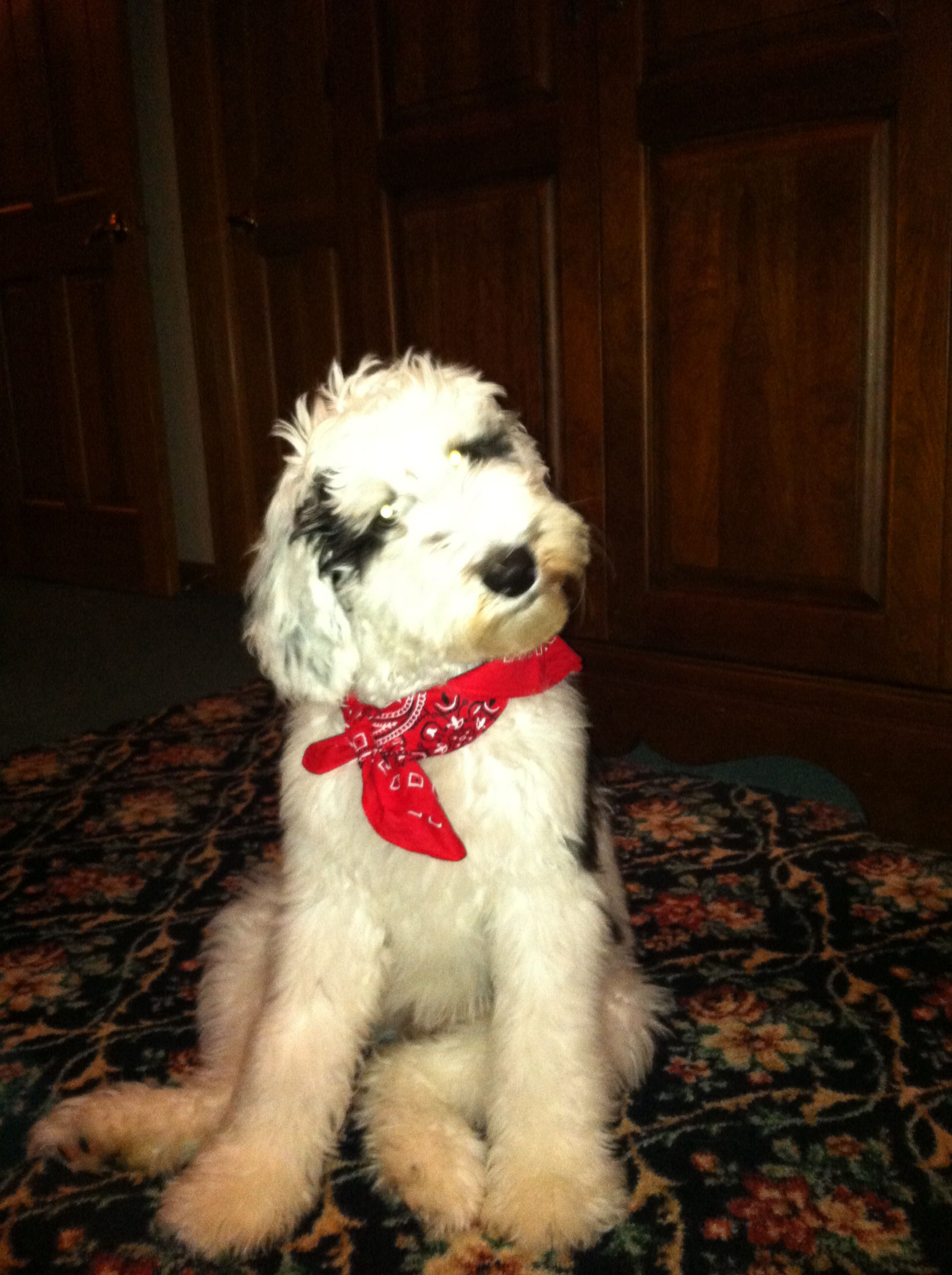 Sheepadoodles Non shedding hypoallergenic old english