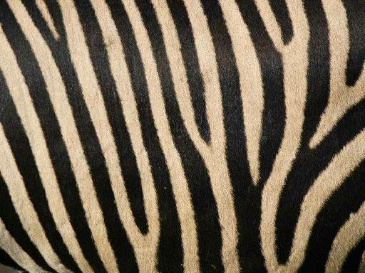 Zebra Stripes Zebra Striped Wallpaper Zebra Wallpaper Striped
