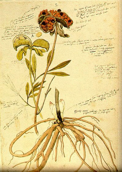 Paeonia officinalis, by Conrad Gessner (ca 1550) Nature, journal - conrad gessner