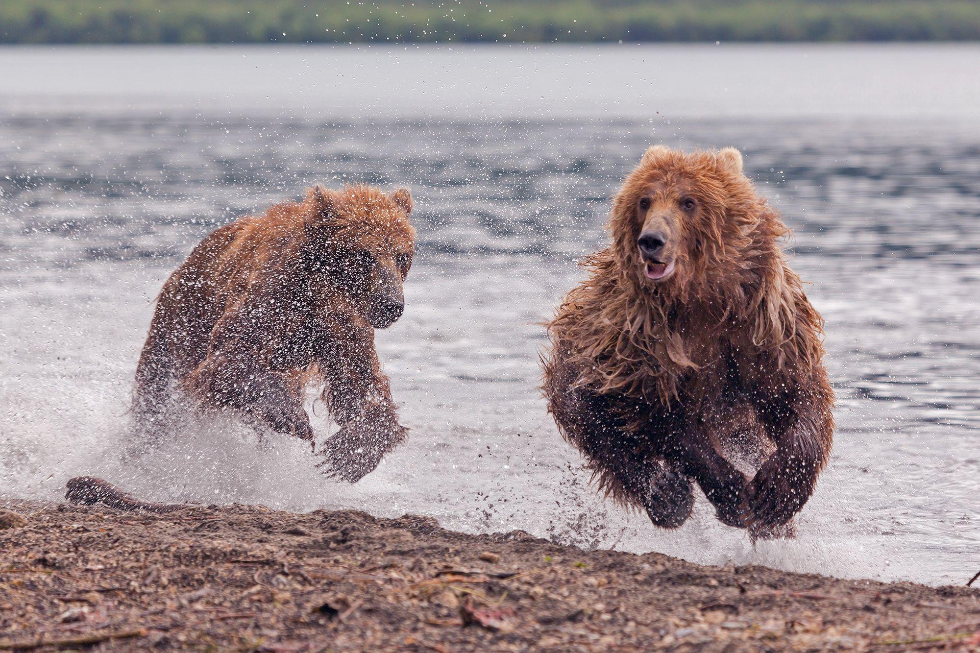 Bear races by Денис Будьков on px Nature Pinterest August