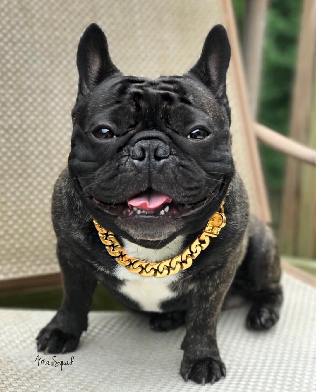 French Bulldog Bling Boston Terrier Puppy Brindle French