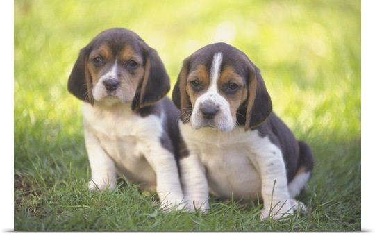Beagle Puppies Beagle Puppy Beagle Dog Breed Beagle