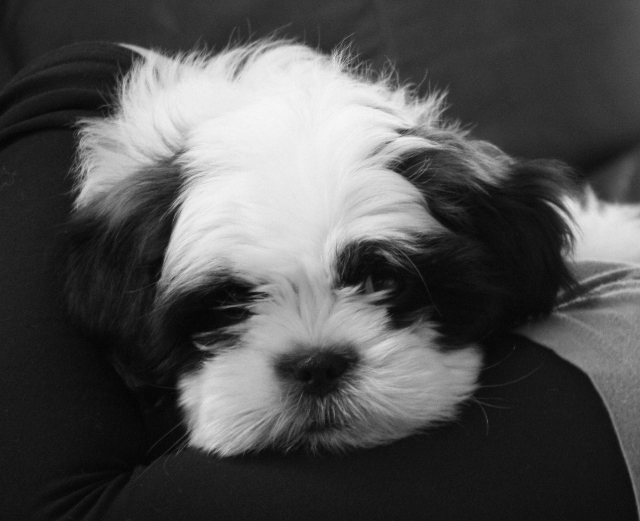 Shih tzu | pets | Pinterest