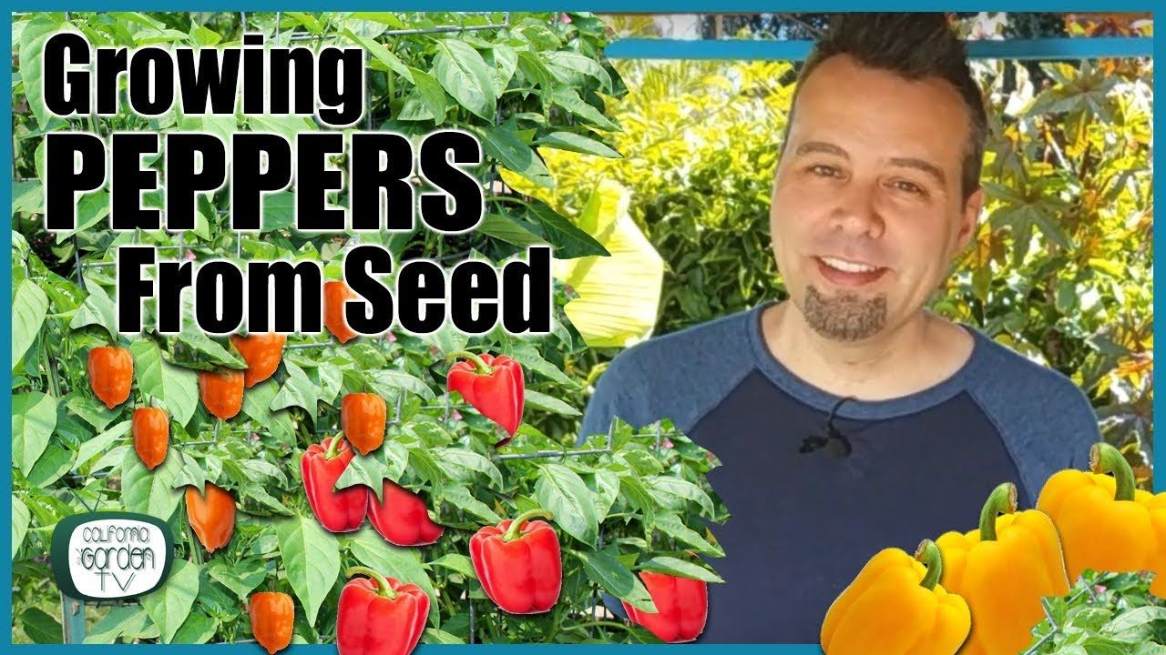 How to grow peppers from seed step by step instructions