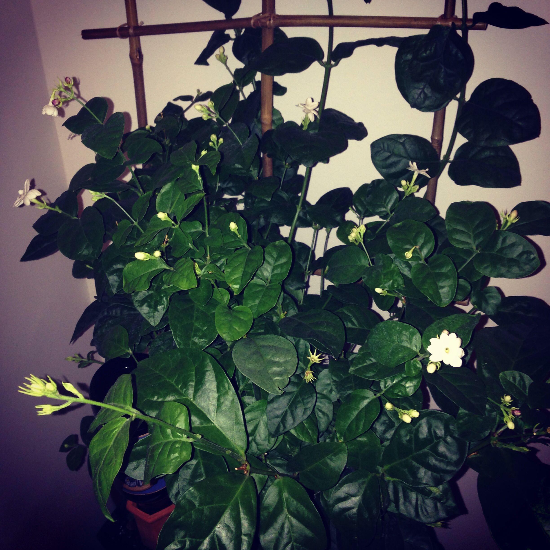 Arabian jasmine plant with a diy bamboo trellis so easy to do arabian jasmine plant with a diy bamboo trellis so easy to do yourself now i have beautiful fragrant flowers climbing my wall izmirmasajfo Choice Image