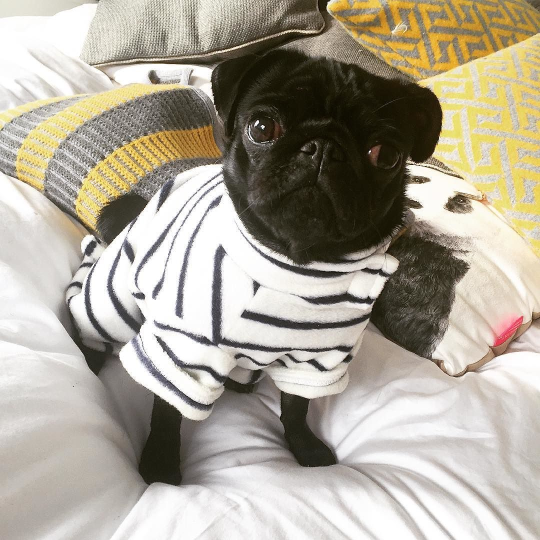 Nala Looks So Chic Today By Zoella Black Pug Puppies Pugs Dogs
