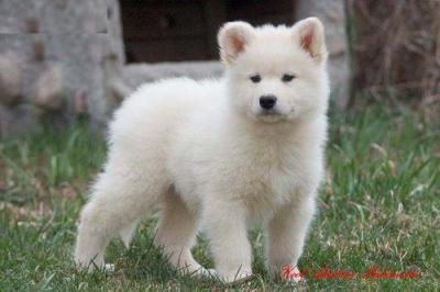 Pin By Cora Mcdaniel On White Husky Puppies Alaskan Malamute