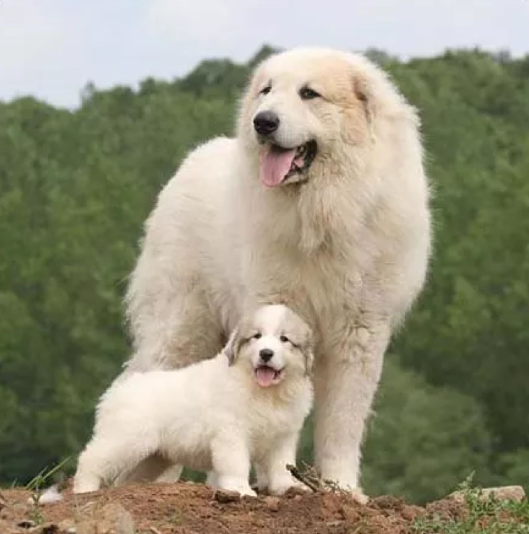 Great Pyrenees With Puppy Great Pyrenees Great Pyrenees Dog