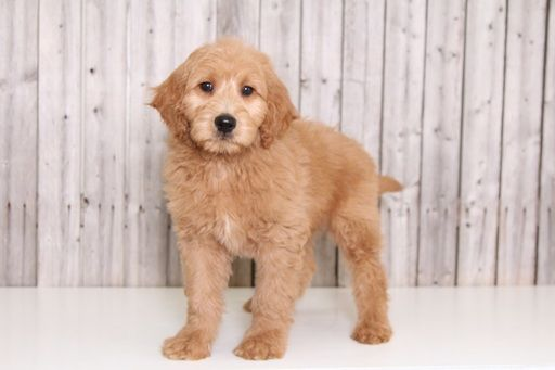 Goldendoodle Puppy For Sale In Mount Vernon Oh Adn 33165 On Puppyfinder Com Gender Male Age 13 Goldendoodle Puppy For Sale Goldendoodle Puppy Goldendoodle