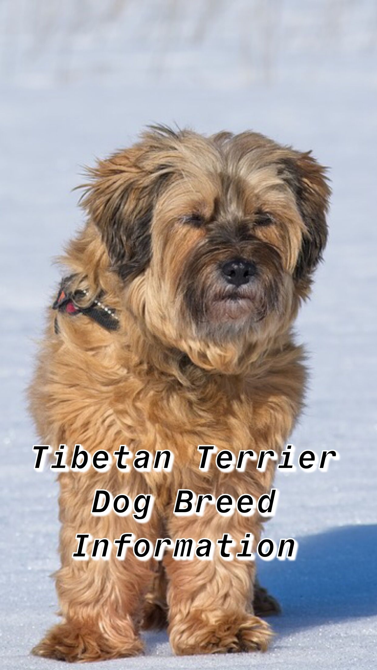 Ultimate Tibetan Terrier Breed Information Terrier Dog Breeds Terrier Breeds Tibetan Terrier