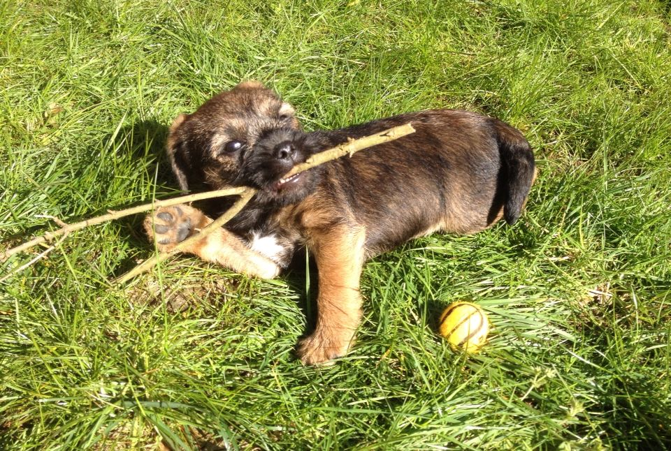 Ernie The Border Terrier Pup Chewing On A Stick In The Sunshine