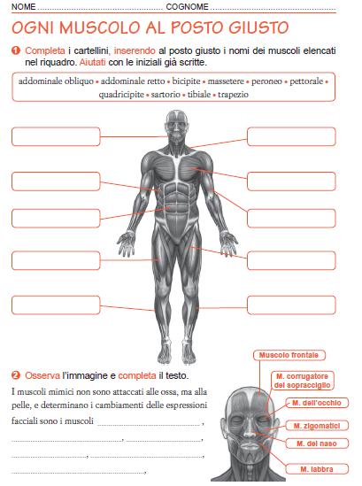 Risultati Immagini Per Corpo Umano Fasce Muscolari Da Colorare