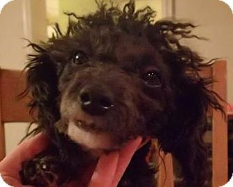 Adopt Ny Pierre On Poodle Dog Poor Dog Toy Poodle
