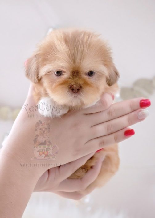 Shih Tzu Puppy For Sale 333 Teacup Puppies Teacupbulldog Teacup Puppies Teacup Puppies For Sale Shih Tzu Puppy