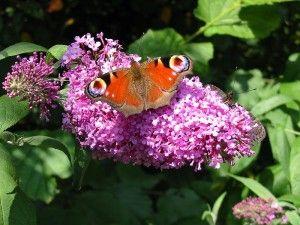 De budleia (vlinderstruik) trekt prachtige vlinders aan.