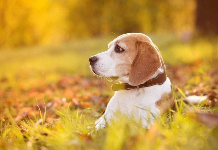 This #Beagle is out hunting game Click on this image to find even more beautiful #dogs