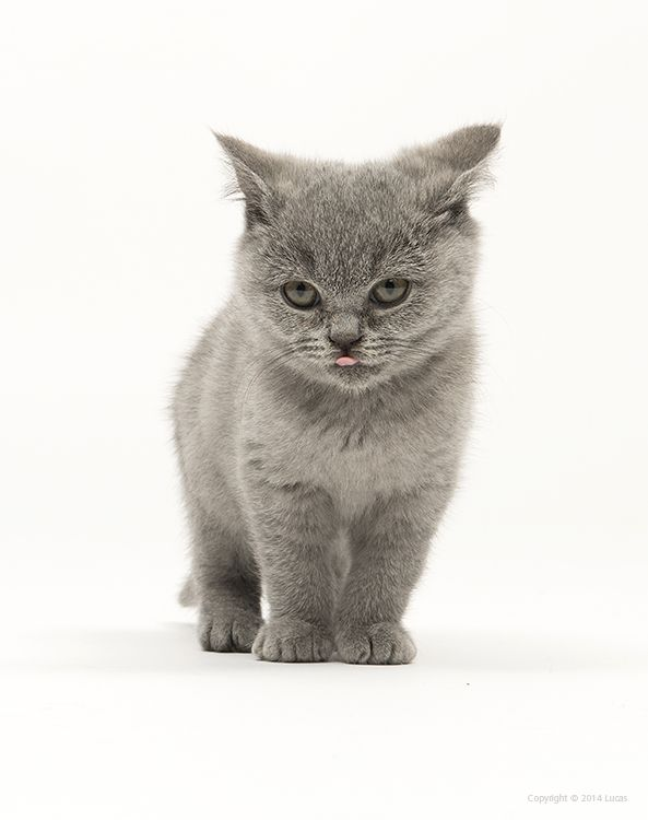Pin By Lucas Cats On British Shorthair British Shorthair Kittens Calming Cat British Shorthair