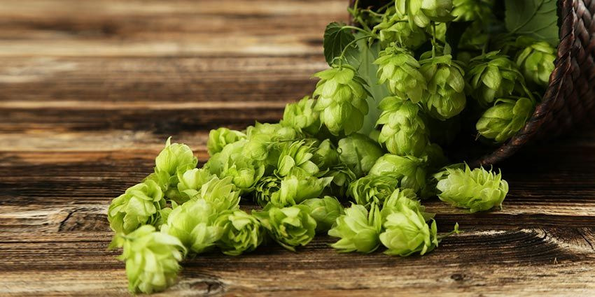 English fuggle hops how to grow brew this popular