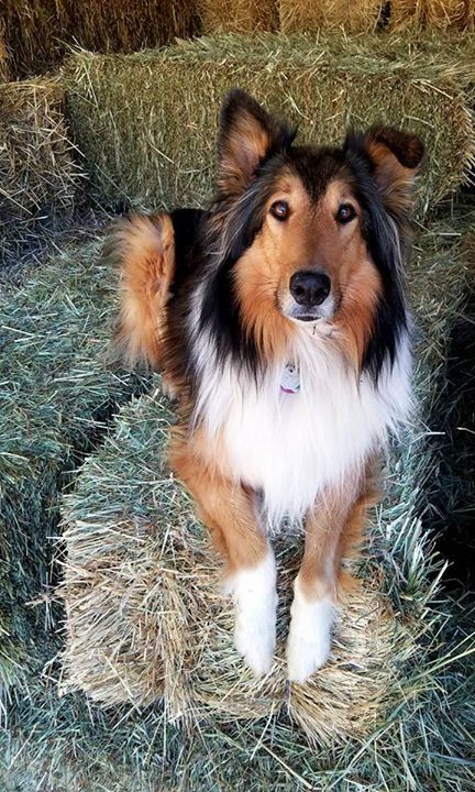 Pin On Rough Collies