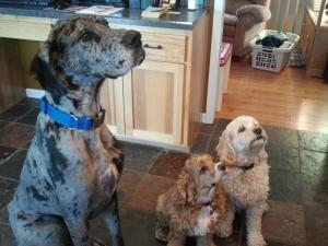 Adopt Bo Duke On Animals Great Dane Dogs Dogs Bo Duke