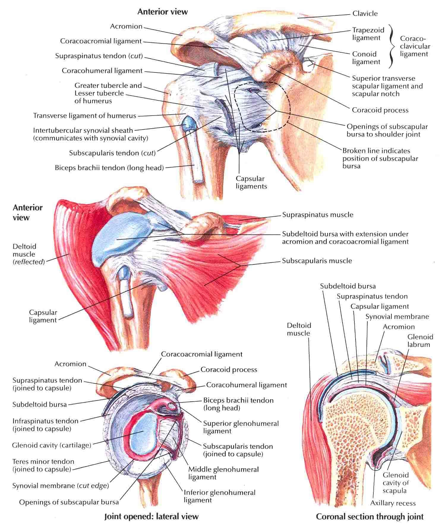 Glenohumeral Joint | Pinterest | Physical therapy
