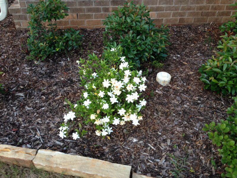 Free Plant Identification With Images Plants Dwarf Gardenia