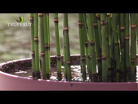 Comment entretenir l\'equisetum japonicum ? - Jardinerie Truffaut TV ...
