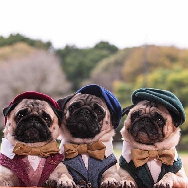 Pin By Gwendoll On Pugs Pugs Dog Lovers Pampered Pooch