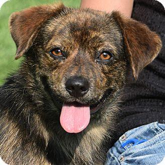 Huntley Il Beagle Sheltie Shetland Sheepdog Mix Meet Gus A