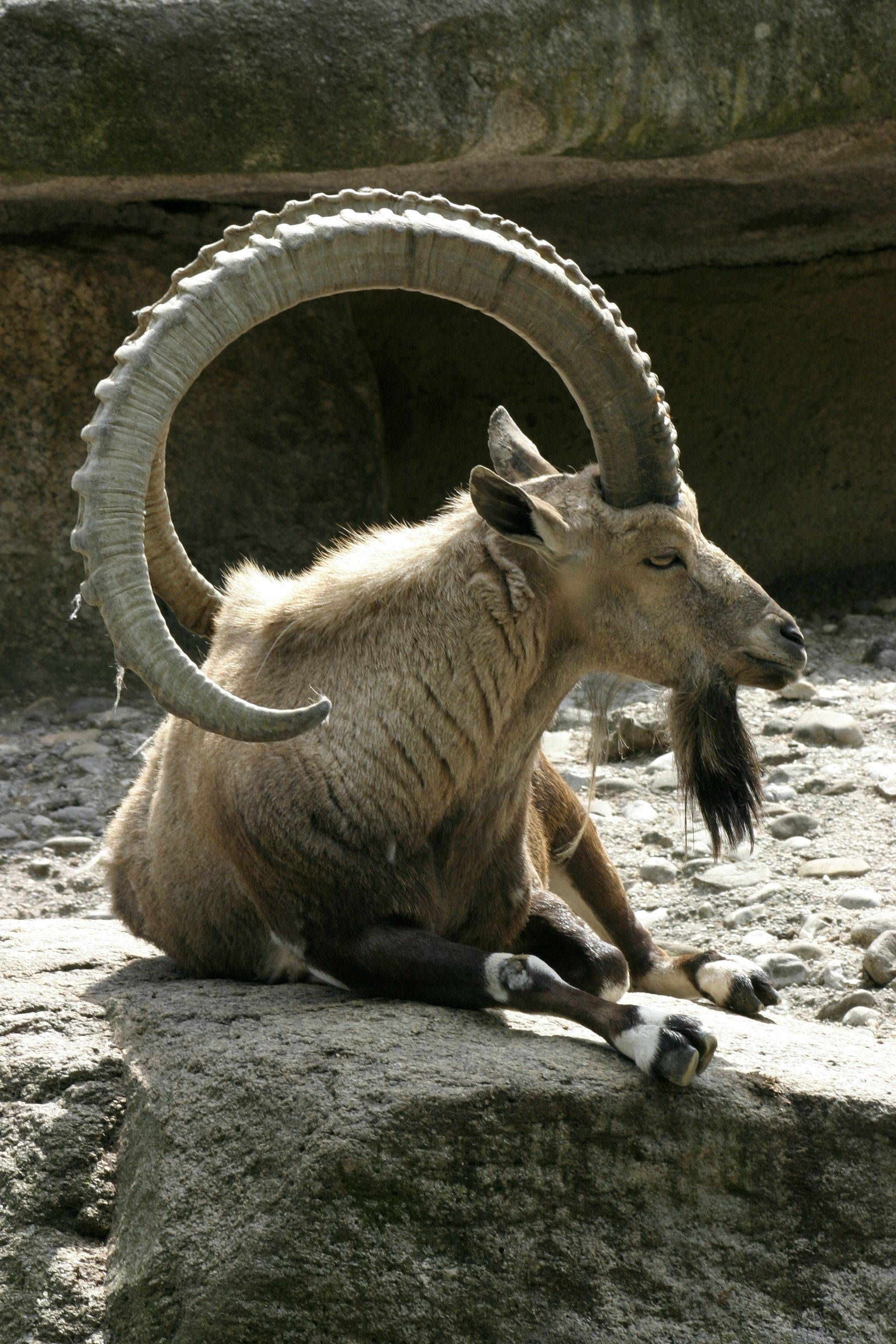 Is compatibility possible: a lion and an ibex