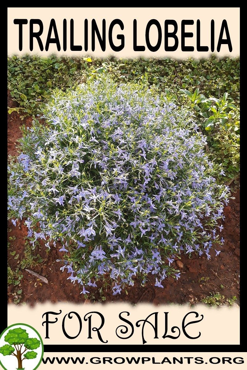 Trailing Lobelia Plants For Sale Grow Plants Gardening All Need