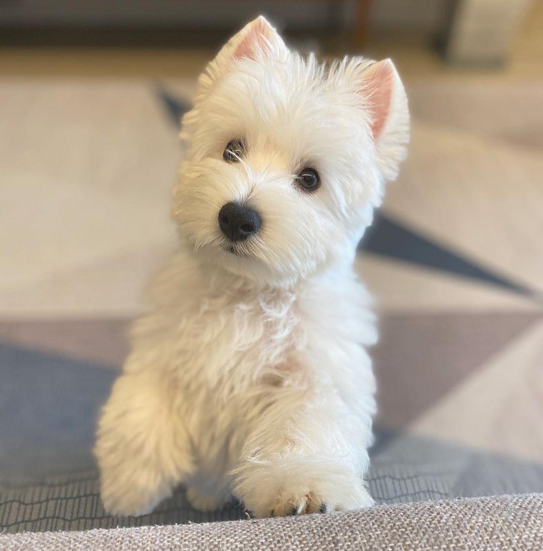 Buy Westie Puppies In Arkansas USA