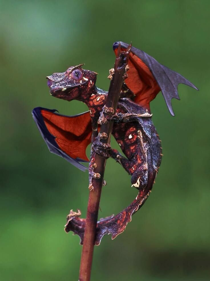 Satanic leaf tailed Gecko. Really exists! Wings were photoshopped, but doesn't it look like a little dragon anyway? hehe