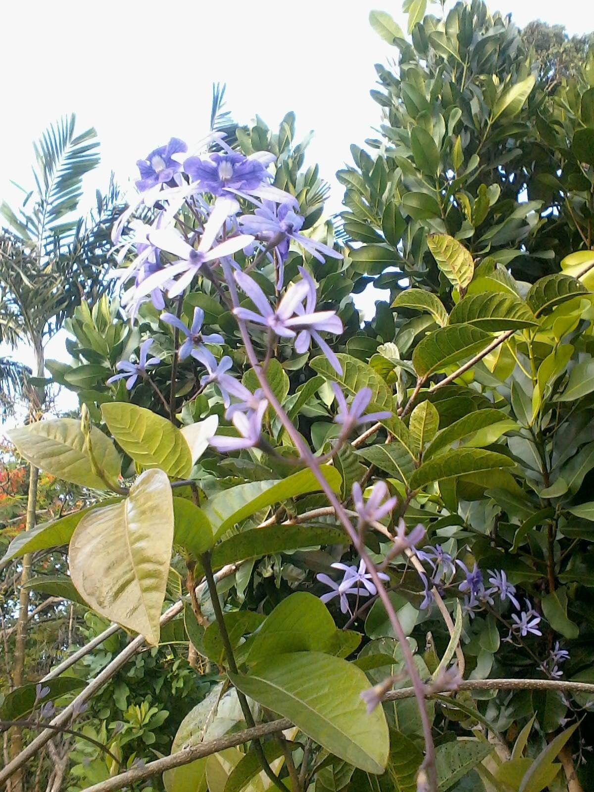 Orchidée liane.