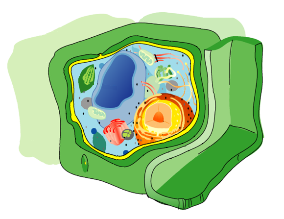 Diagram of the plant cell, with the cell wall in green