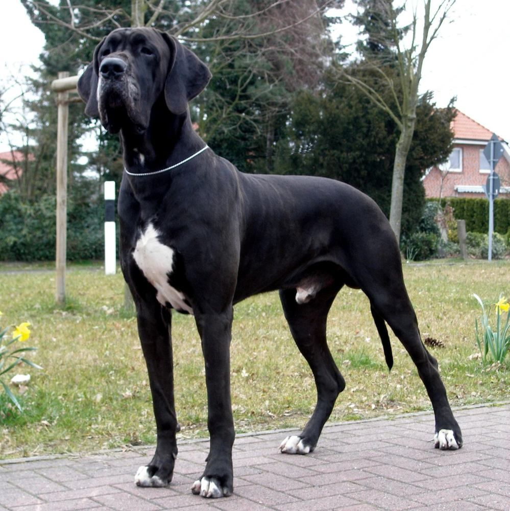 Great Dane English Mastiff Mix Google Search Dane Dog Great