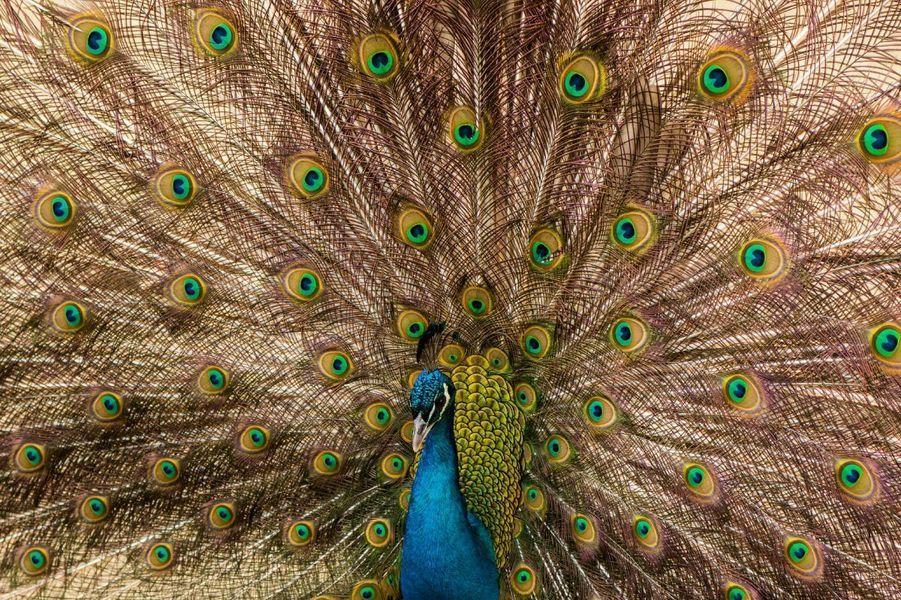 pauw (vogel) van gert hilbink op canvas, behang en meer | products