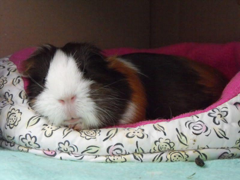 Best Bguinea Pig Bedding