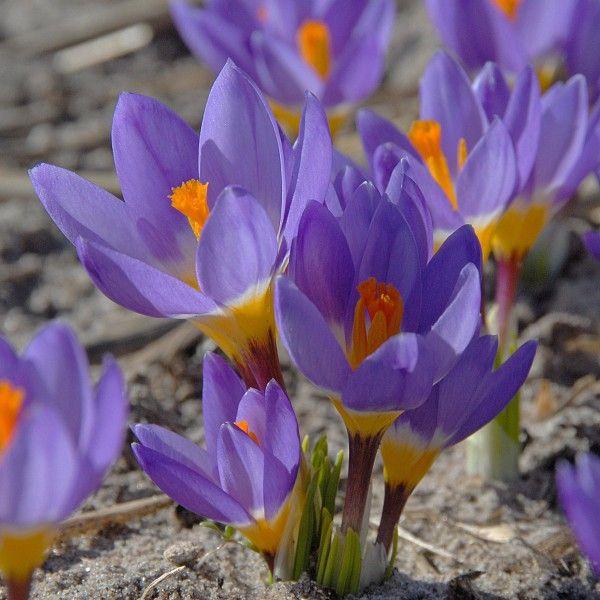 Crocus Sieberi Tricolor Drei Farben In Einem Krokus Vereint