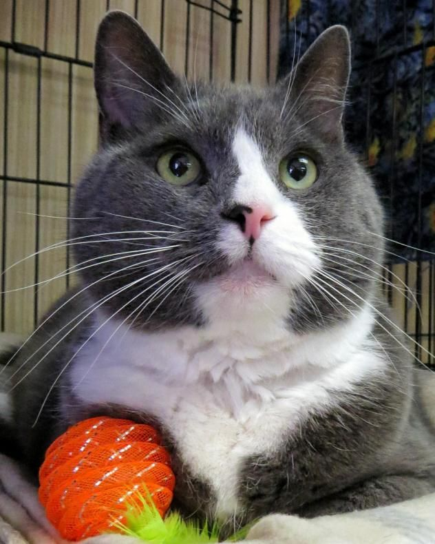 Adopt 7 172 Greyson On Petfinder Cat Adoption Animals Animal Shelter