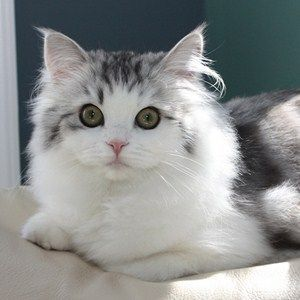 The Place That S All About Pets Ragamuffin Cat Cat Breeds Cats And Kittens