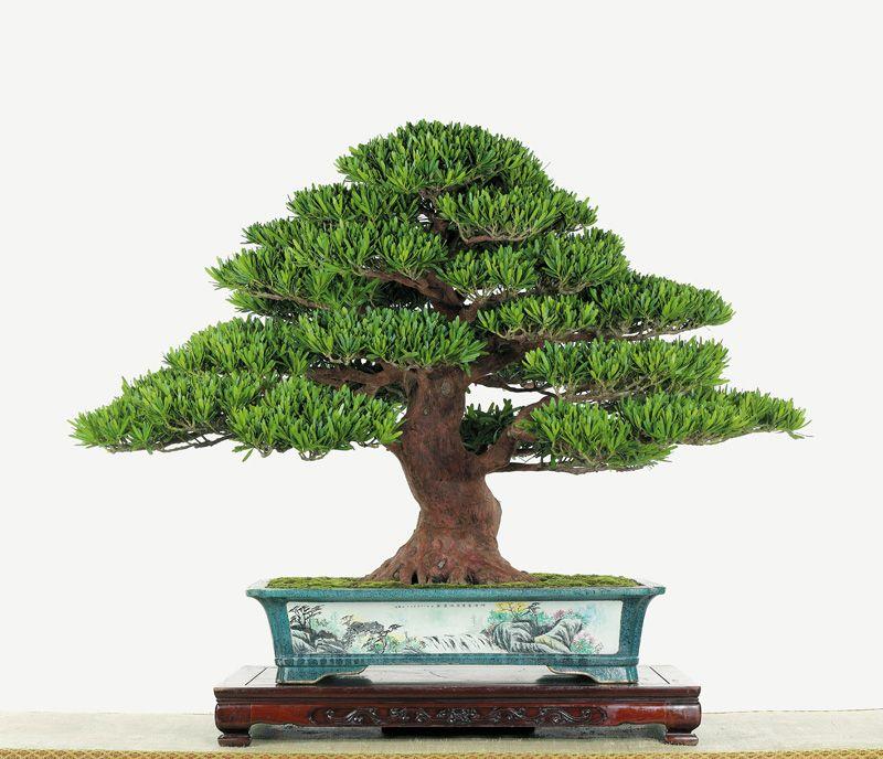 Bonsai Shari Sidiao Bonsai Art Podocarpus Bonsai Bonsai