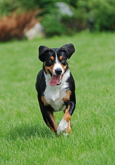Appenzeller Sennenhund Entlebucher Sennenhund Sennenhund Appenzeller Sennenhund