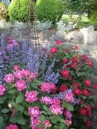 red roses knockout in landscape - Google Search #knockoutrosen red roses knockout in landscape - Google Search #knockoutrosen