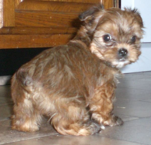 Shorkie Puppies Shorkie Puppies Teddy Bear Puppies Puppies And Kitties