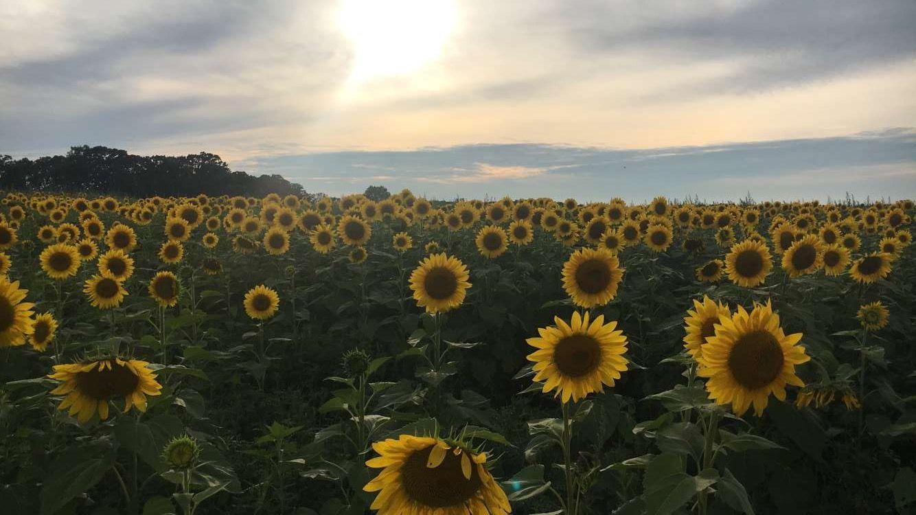 Sunflower Field   Sunflower fields, Natural landmarks, Nature