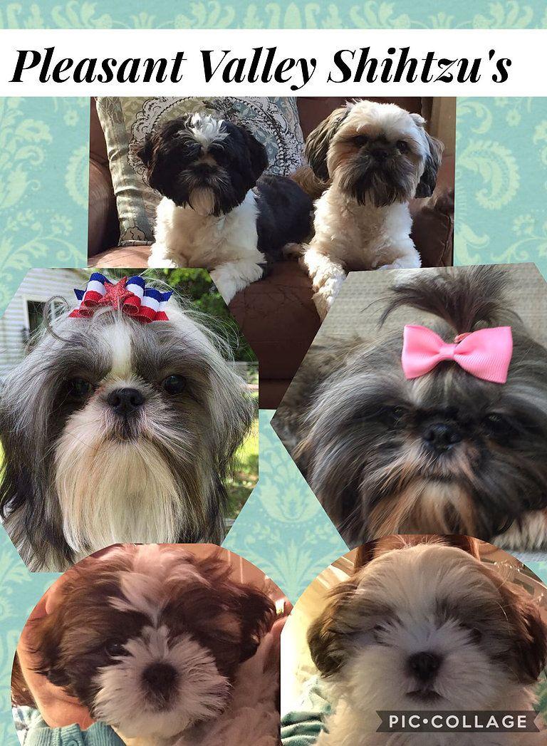 Pleasant Valley Shihtzu S Westminster Maryland Puppies Puppies Shih Tzu Animals