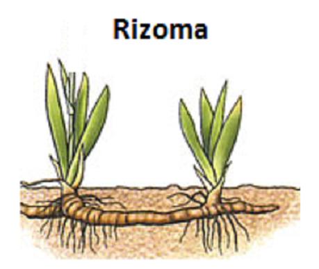 Reproduccion asexual rizomas yahoo calendar